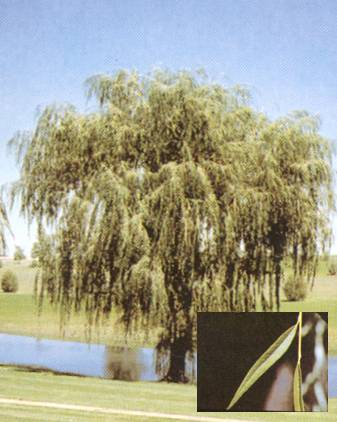GoldenWillow