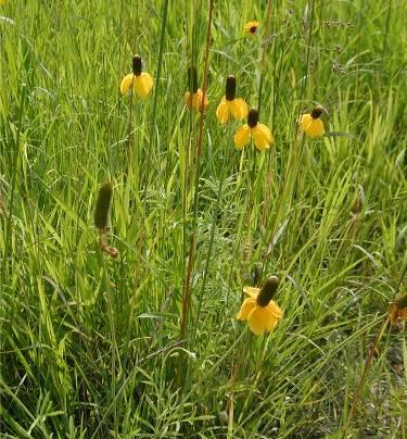 YellowConeflower