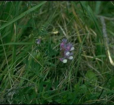 AmericanVetch