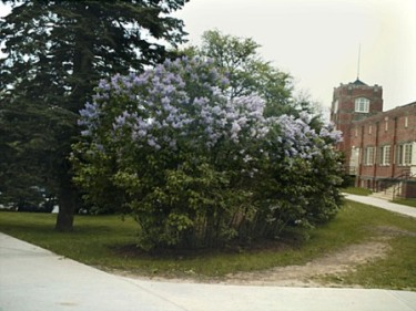 CommonLilac