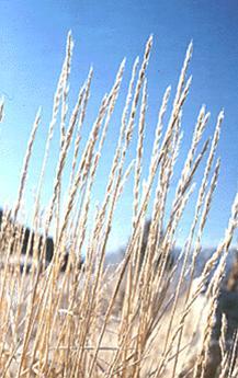 SlenderWheatgrass