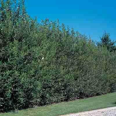 Hybrid Willow