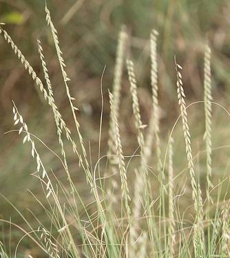 side oats